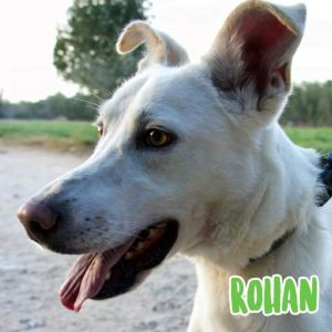 white saluki with ears up and tongue hanging out